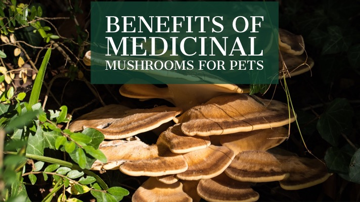 Benefits of Medicinal Mushrooms for Pets