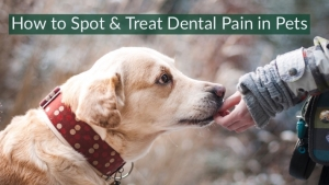 How to Spot and Treat Dental Pain in Pets